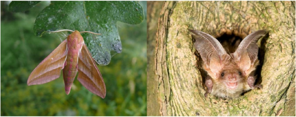 Nachtvlinders en vleermuizen in het Aelmoeseneiebos: links groot avondrood (foto: Pallieter De Smedt), rechts gewone grootoorvleermuis (foto: René Janssen)