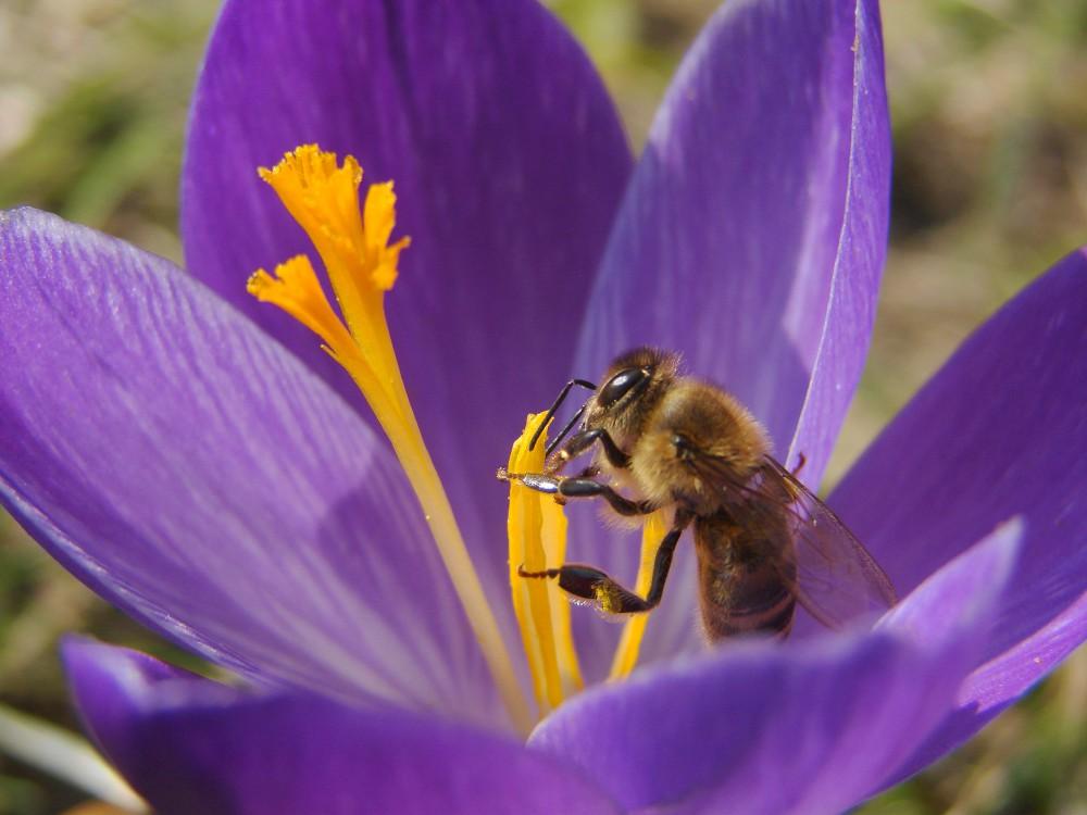 de krokus is de eerste bloem na de winter waar de bij terecht kan