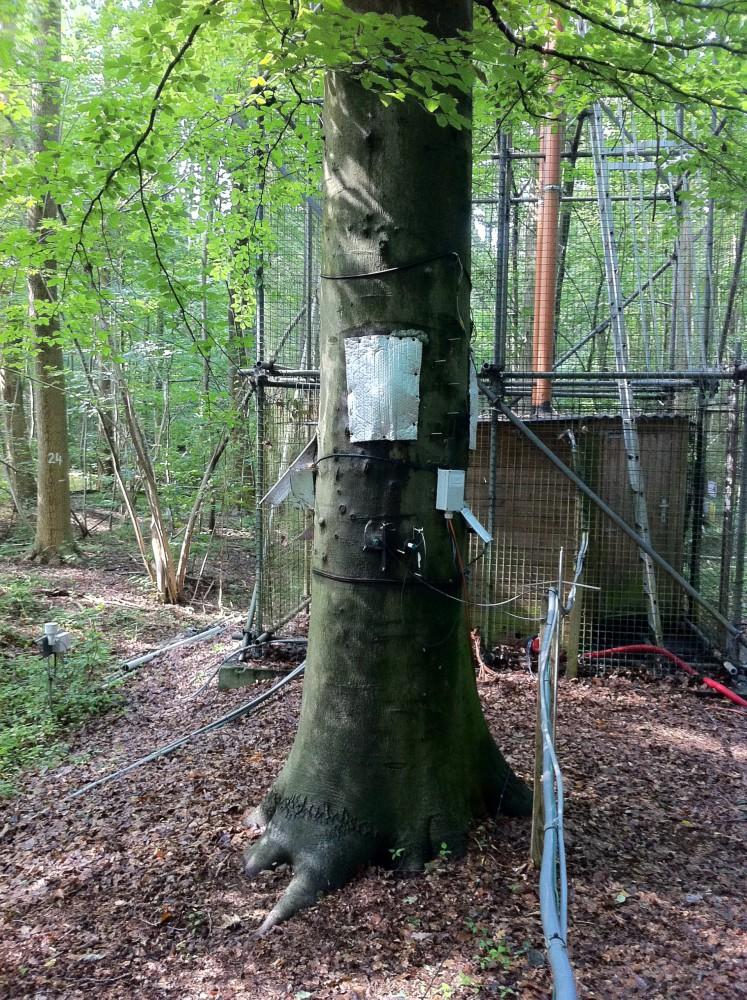de beuk in het Aelmoeseneiebos die in aanmerking komt voor verkiezing tot 'mooiste boom' (via mooisteboom.be)