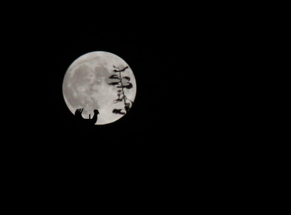 De torenhaan van Landskouter bij volle maan